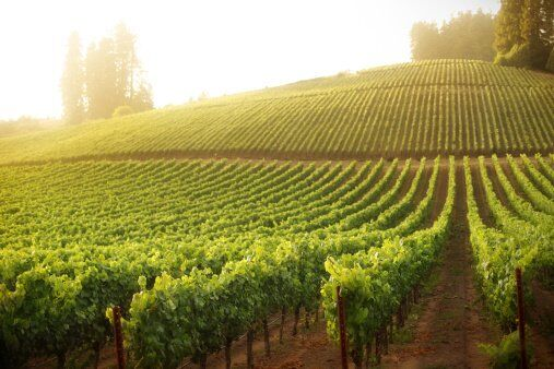 vineyard featuring roll formed agricultural grape stakes